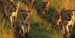 Roaring Kenya